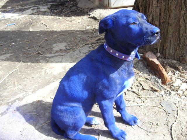 blue-dog-01