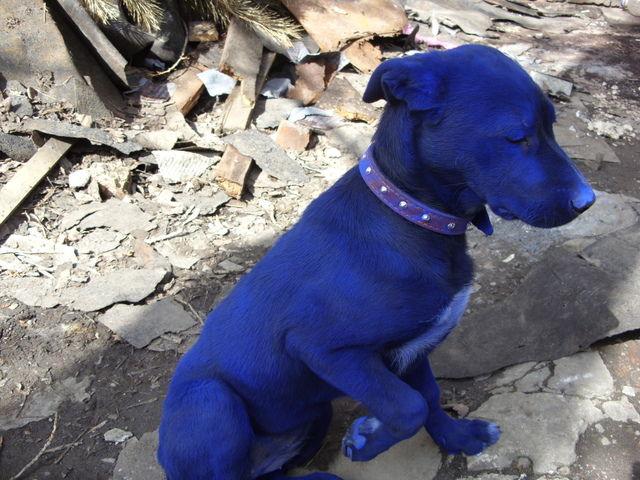 blue-dog-05