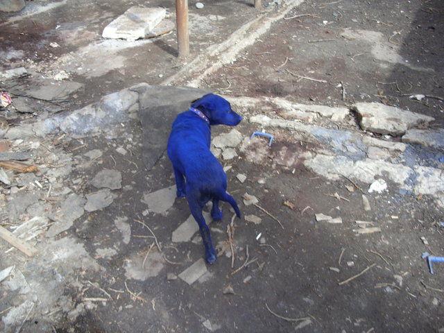 blue-dog-06