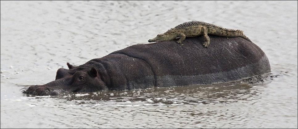 Крокодил на бегемоте