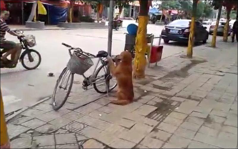 Собака охраняет велосипед