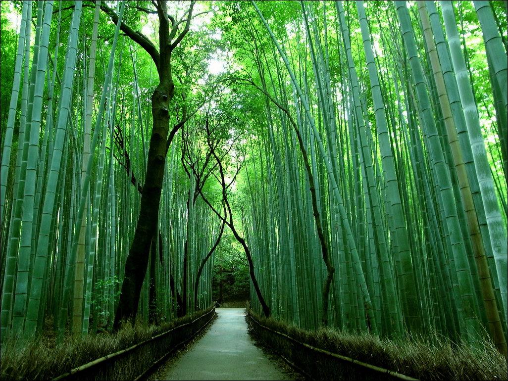Бамбуковый лес 13 фото