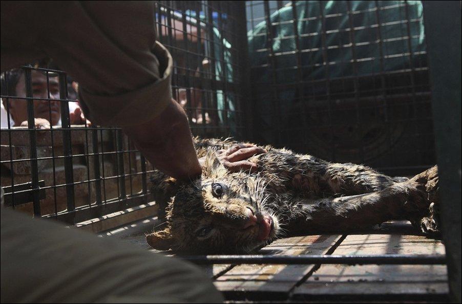 Спасение леопарда попавшего в колодец