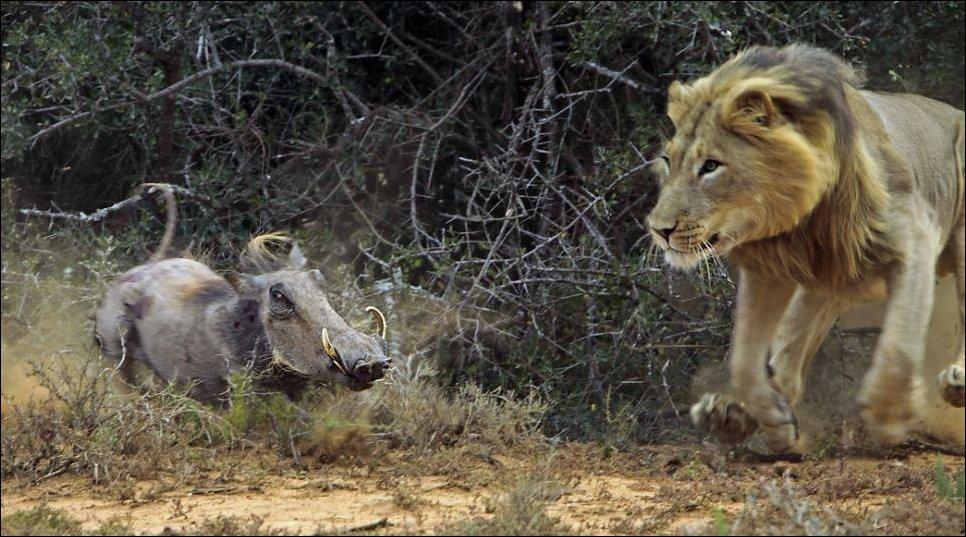 Король-лев и дикая свинья бородавочник