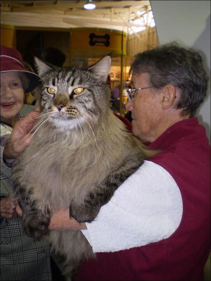 Самый большой кошка