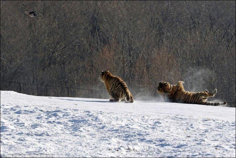 Тигр упустил курицу