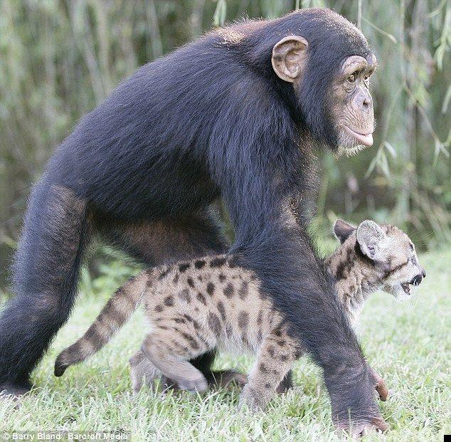 chimpanzee-and-puma-03