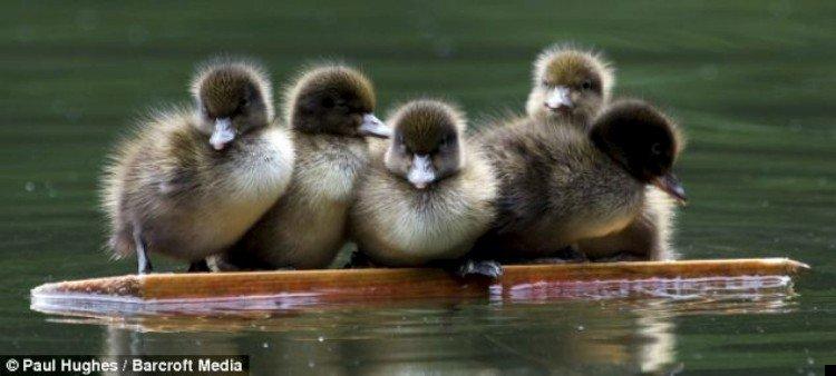 ducks-02