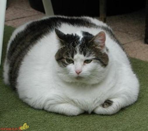 fat-pets-06