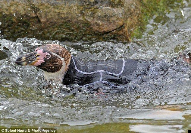 penguin-wetsuit-02