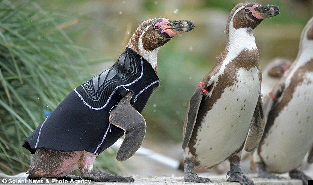 penguin-wetsuit-03