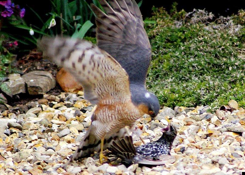sparrowhawk-kills-starling-01