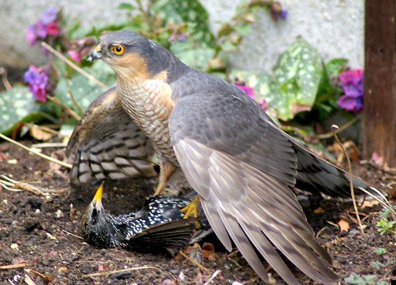 sparrowhawk-kills-starling-02