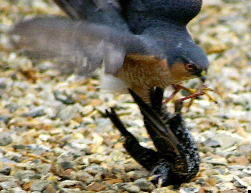 sparrowhawk-kills-starling-03
