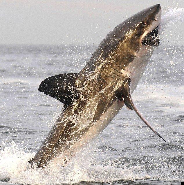 white-shark-02