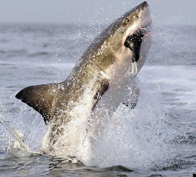 white-shark-03