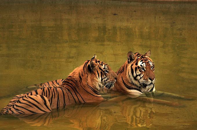 big-cats-11