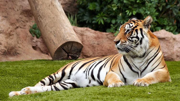 big-cats-13
