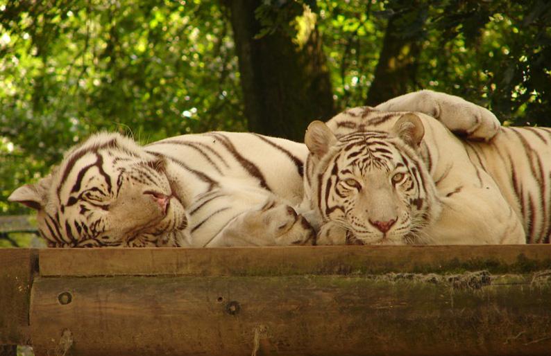 big-cats-14