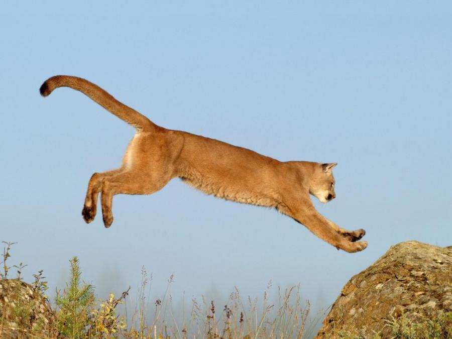 big-cats-37