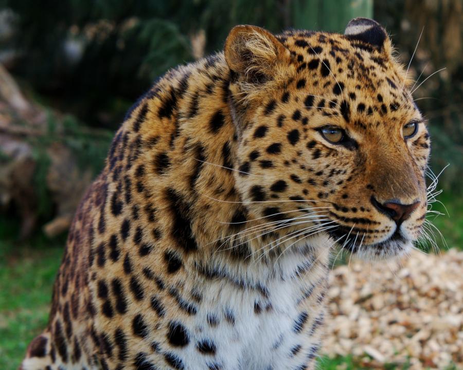 big-cats-39