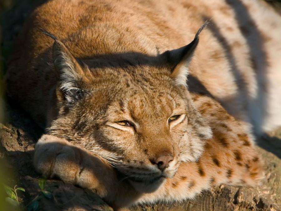 big-cats-43