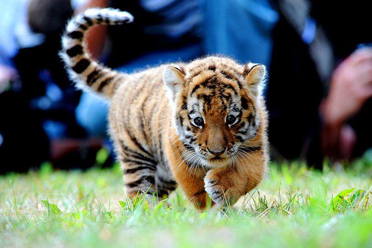 big-cats-44