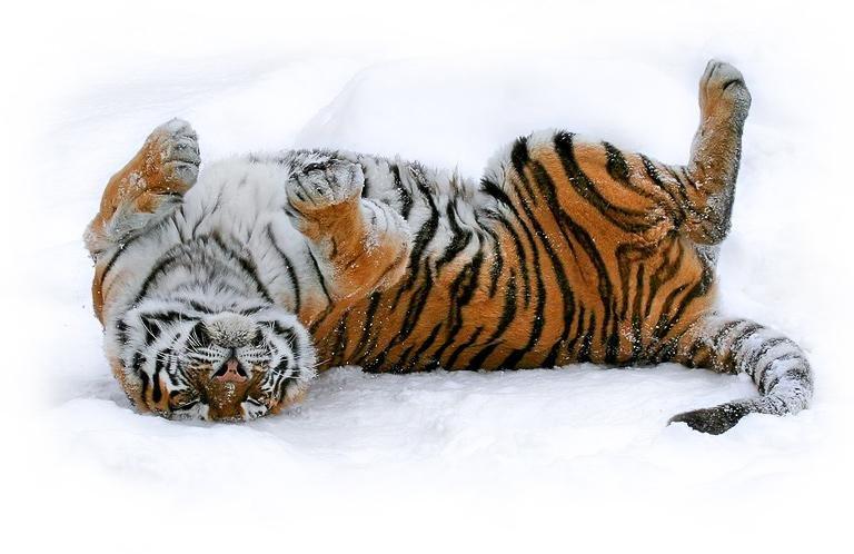 big-cats-66