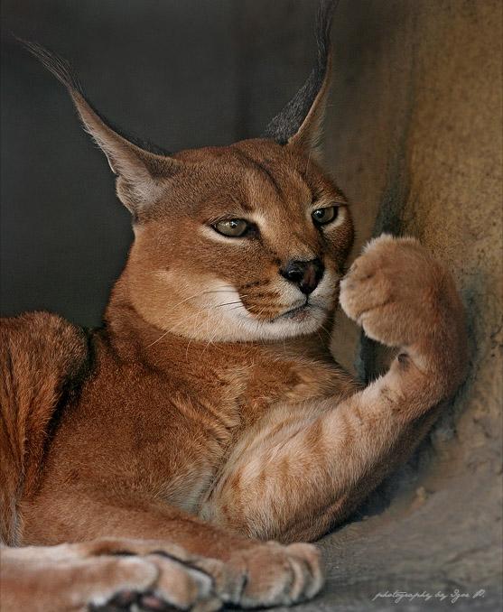 big-cats-70