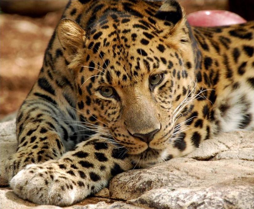 big-cats-77