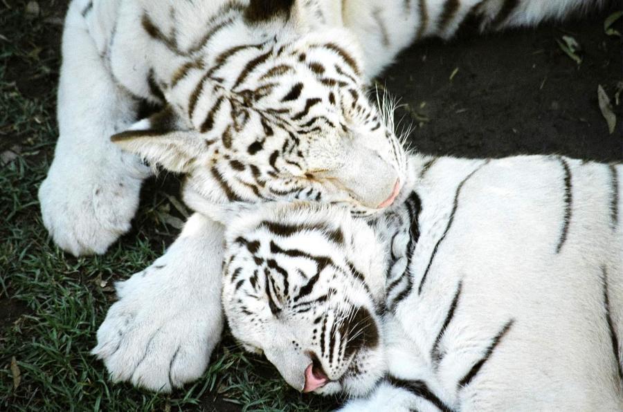 big-cats-79