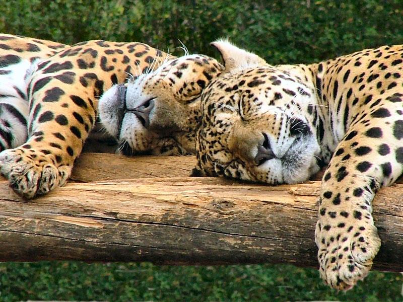 big-cats-80