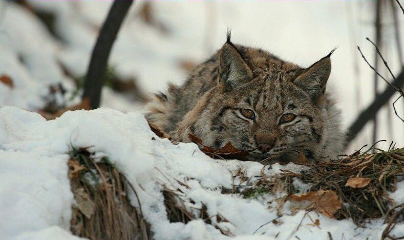 big-cats-82
