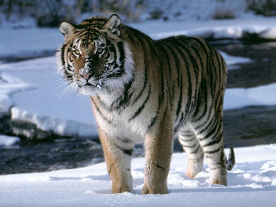 big-cats-84