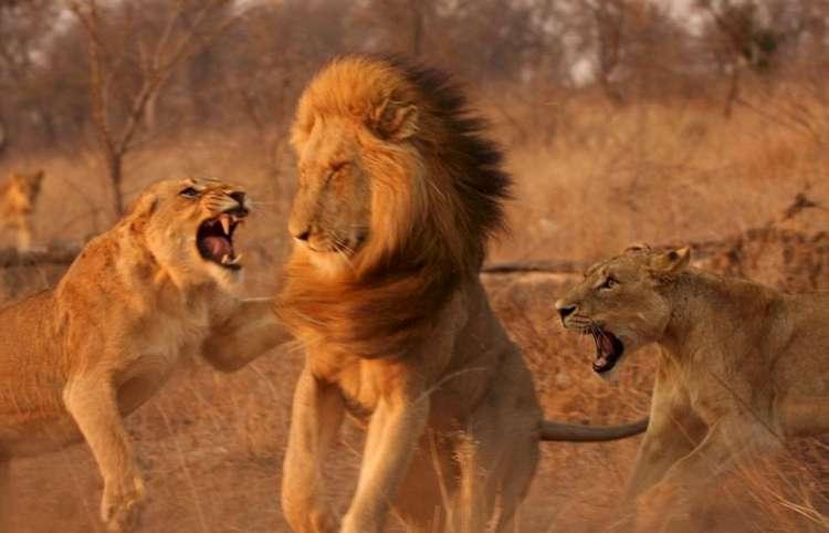 lions-01