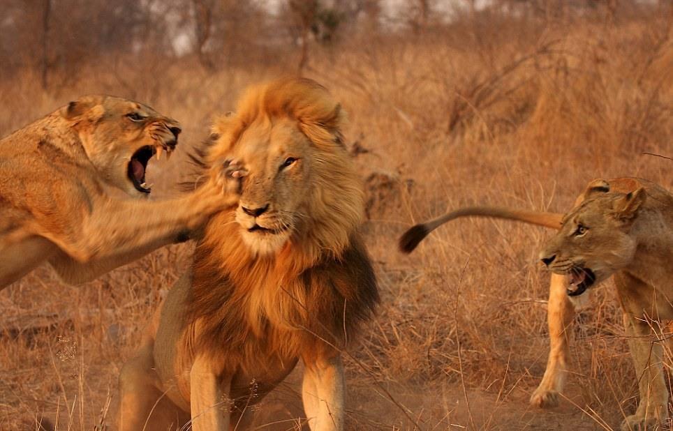 lions-03