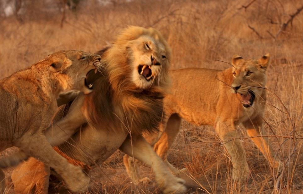 lions-04