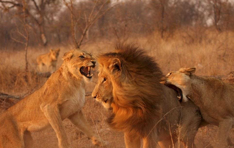 lions-05