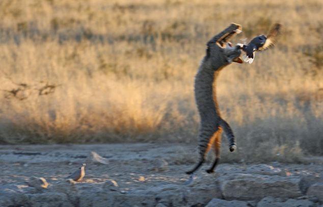 wildcat-hunt-03