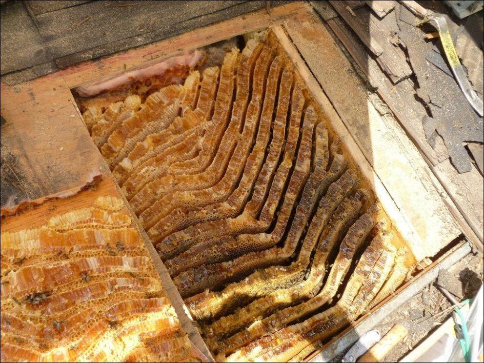 Пчелы устроили улей под крышей дома