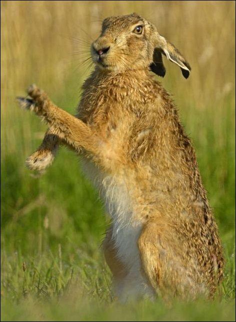Брачные игры зайцев