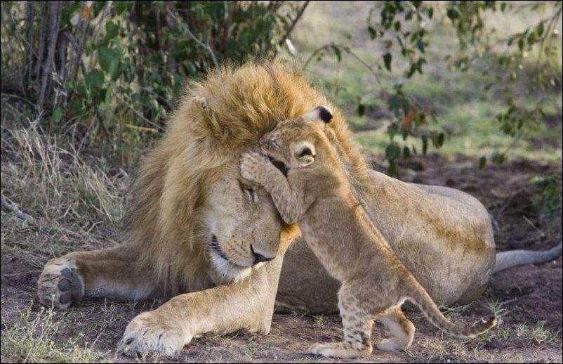 Лев и львенок