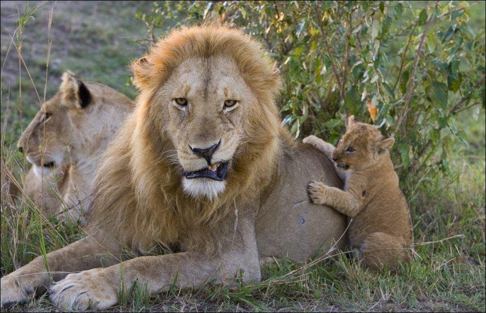 лев и его младенец картинки пришел свадьбу
