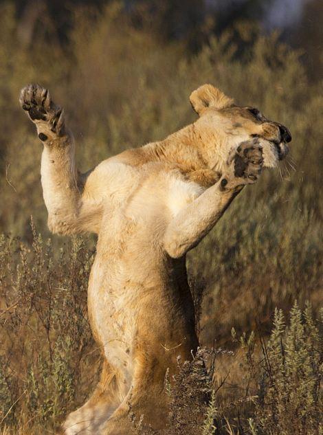 Импала выпрыгнула из пасти львицы