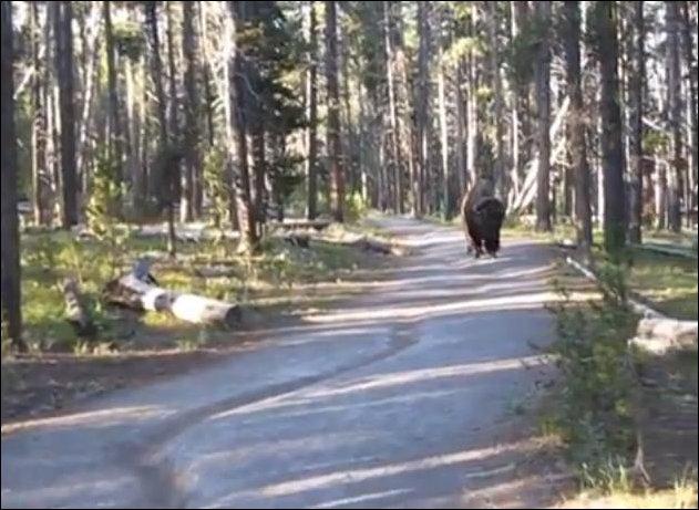 Встреча с бизоном