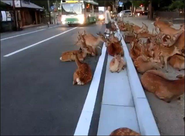 Стадо оленей на улице города