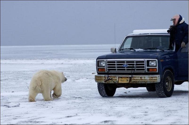 Белый медведь и фотограф