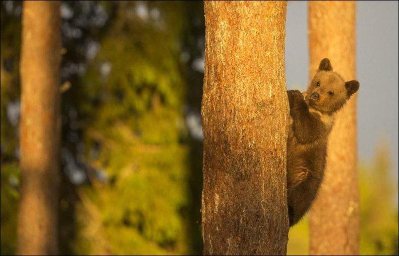 Медвежата лезут на дерево пока медведица спит