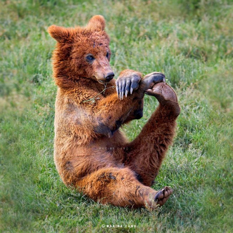 Медведи как люди