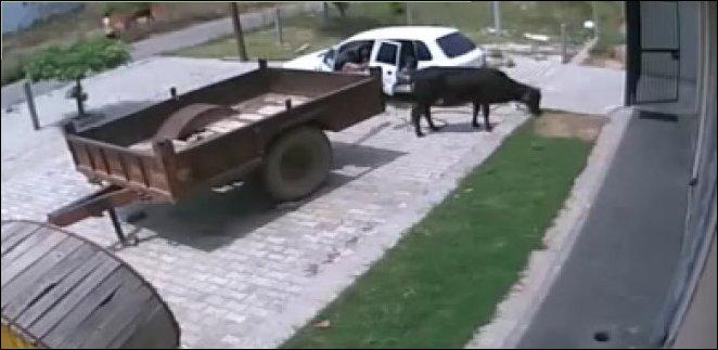 Посадил корову в машину